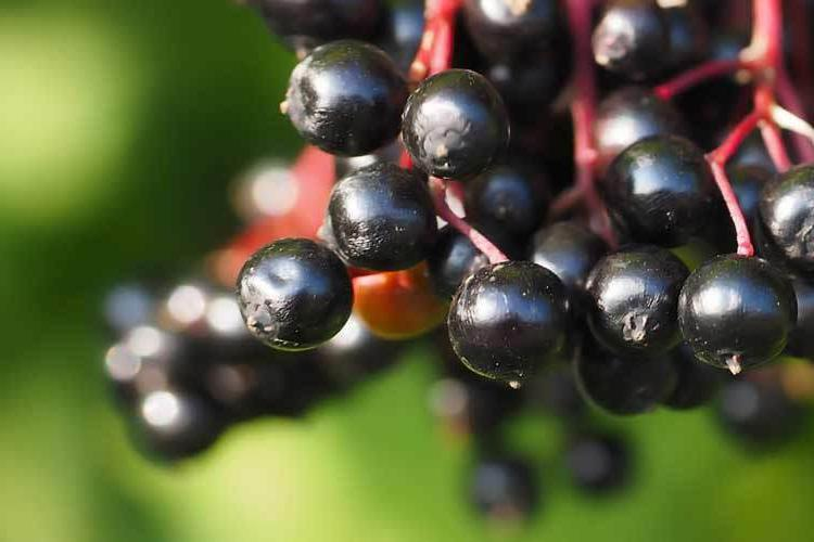 MARCH SPECIAL-WILD ELDERBERRIES ELDERBERRY TEA NON-GMO-1-10