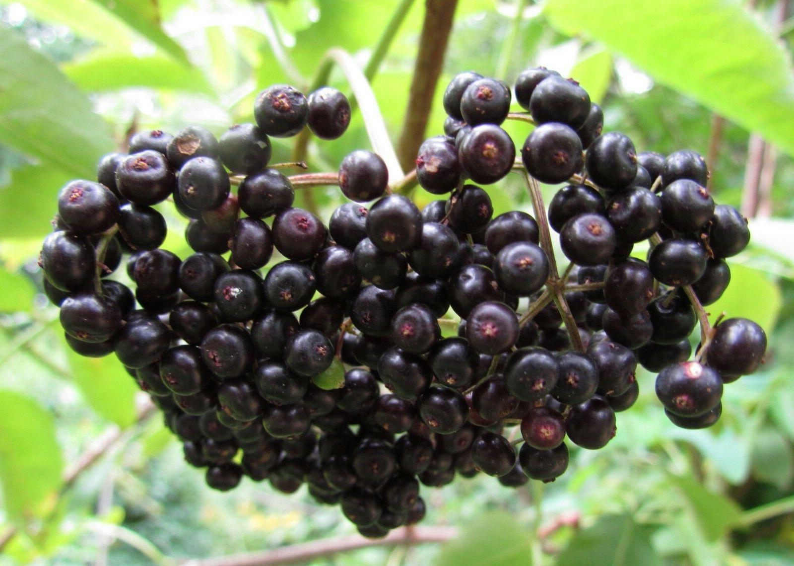 MARCH BLACK DRIED ELDERBERRIES ELDERBERRY BULK NON-GMO-1-10